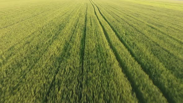 Cover Image for Aerial of the Cheerful Green Wheat Field with Moving Spikelets on a Sunny Day