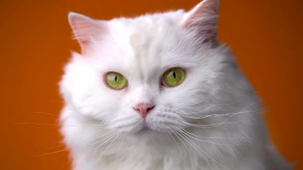 Thumbnail for Adorable Cute Domestic Pet. Fluffy White Cat Isolated on Orange Background in Studio. Animals