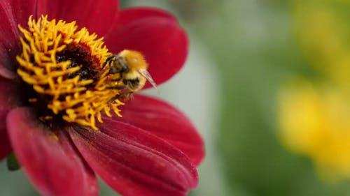 Shallow DOF bee over deep red color dahlia flower in the garden 4K 2160p 30fps UltraHD footage - Dah