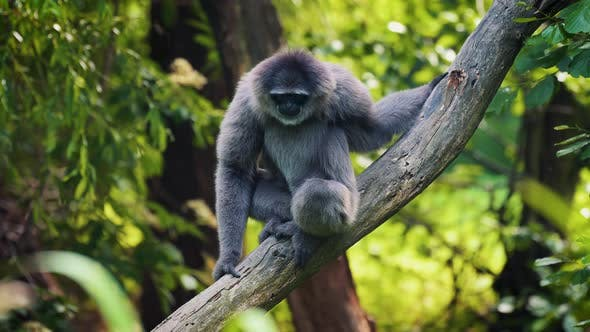 Silvery Gibbon Sitting on a Branch
