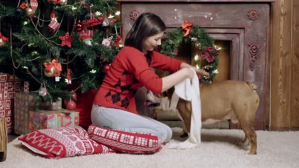 Thumbnail for Charming Girl Dresses a White Scarf on a Cute Funny Bulldog, Christmas, New Years