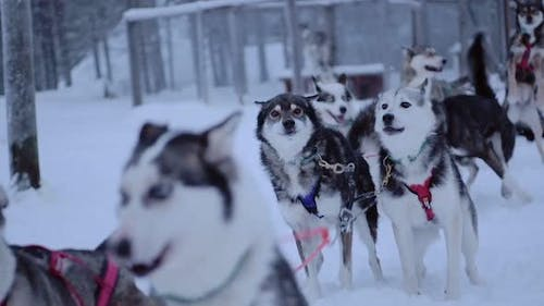 A Group Of Siberian Huskies Tied To One Another, Running On A Field Full Of Snow In Lapland Finland
