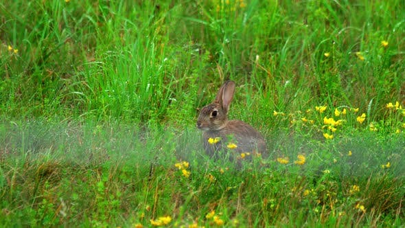 Cover Image for Hare in Green Grass, a Rain Shower