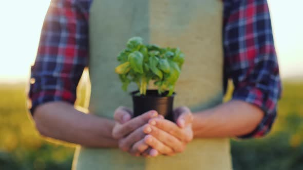 Cover Image for Hands of a Young Farmer Holding a Pot of Green Basil