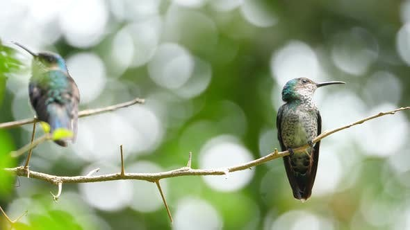 Thumbnail for White-necked Jacobin Bird in its Natural Habitat in the Forest