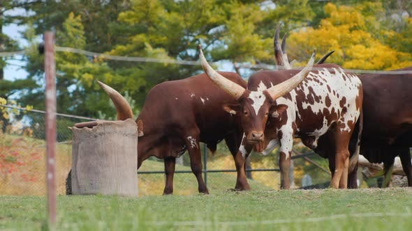 African Cows with Large Horns Cattle of Kings