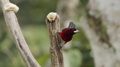 Crimson-backed Tanager Male Lone Eating Feeding Flying Banana Fruit