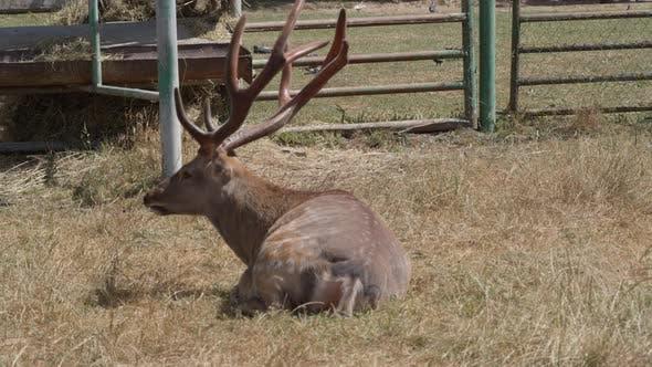 Sika Deer Buck in Field