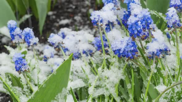 Blue Muscari Flowers Under the Snow