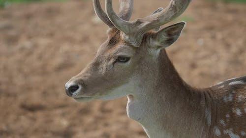 Close Up Portrait of Fallow Deer. Dama Dama, Ruminant Mammal,