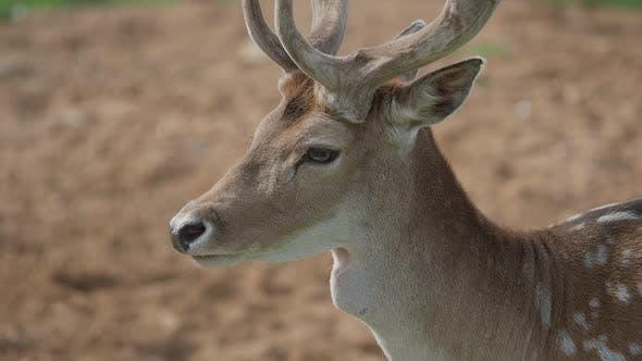 Thumbnail for Close Up Portrait of Fallow Deer. Dama Dama, Ruminant Mammal,