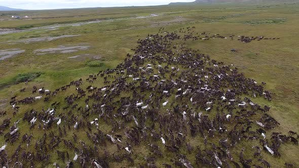 Cover Image for Herd Of Reindeer Running On Tundra