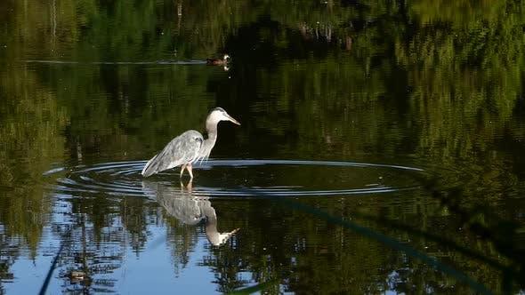 Thumbnail for Heron Catching Fish
