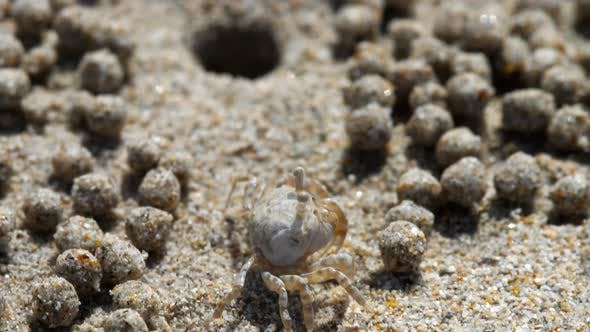 Thumbnail for Sand Bubbler Crab