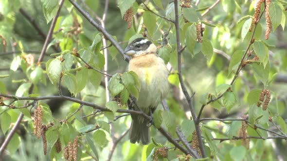 Black-headed Grosbeak Female Adult Lone Perched in Summer in South Dakota