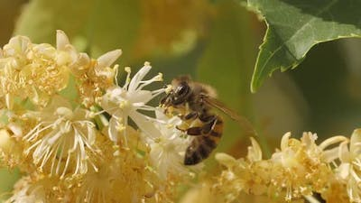 Bee Collecting Pollen From a Flower of the Tree