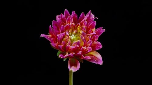 Time Lapse Dahlia Flower Opening