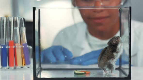 In Modern Laboratory Black Chemistry Doctor in Safety Glasses Looking at Hamster's Physical