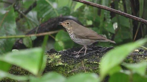 Swainson's Thrush Bird Eating in Wet Jungle Rain Raining in South America