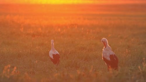 Adult European White Stork  Ciconia Ciconia  Walking In Summer Field Meadow In Sunlight Sunbeams