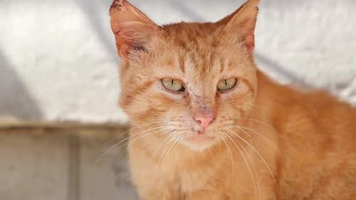 Sick Red Cat with a Rash on His Face