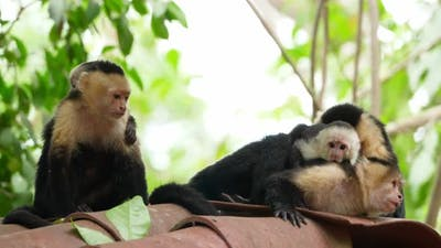 Capuchin Tropical Family Monkeys in the Tropics