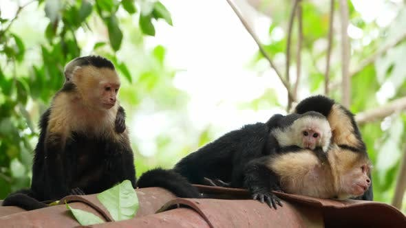 Thumbnail for Capuchin Tropical Family Monkeys in the Tropics
