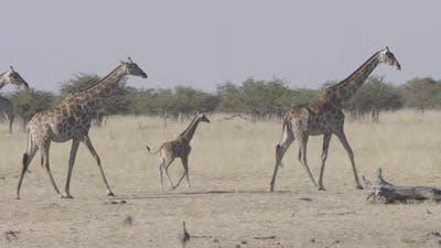 Family of Giraffe Walking in Line