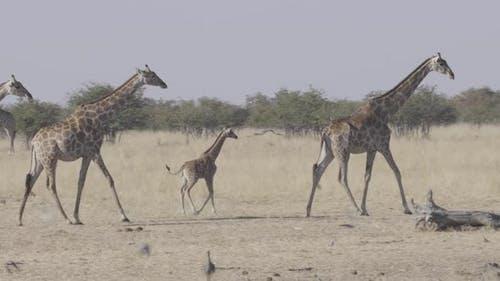 Family of Giraffe Walking in Line