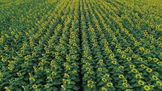 Thumbnail for Sunflowers