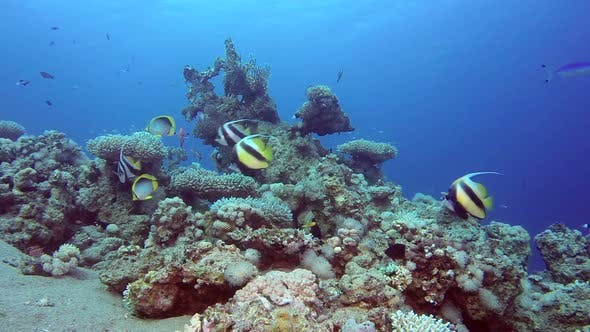Thumbnail for Underwater Scene Butterfly Fish