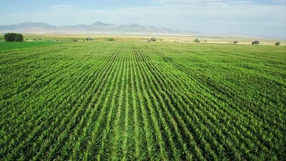 Thumbnail for Sideways pan of cornfield