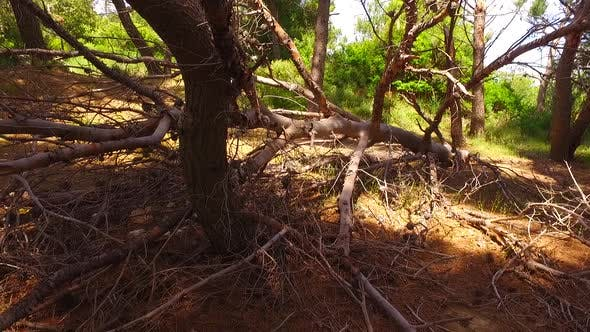 Thumbnail for Old and Dried Pine Tree on the Ground