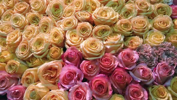 Thumbnail for Different Colors of Fresh Roses Grow.