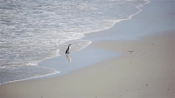 Thumbnail for Penguin on a beach in the Falkland Islands (Islas Malvinas).