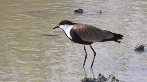 A Lapwing Bird by The Water