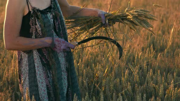 A Woman Who at Sunset Mows the Ripe Ears of Wheat with a Sickle. The Girl Cuts the Golden Ears of