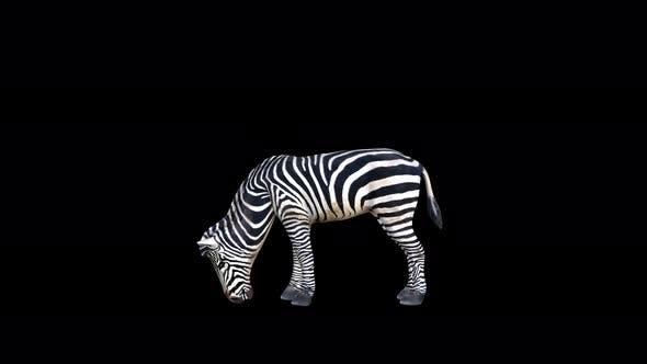 Thumbnail for 4K Zebra Eat
