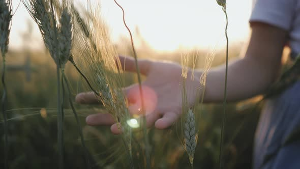Woman Walks Through a Green Wheat Field and Touches the Ears of Wheat with Her Hands Against the