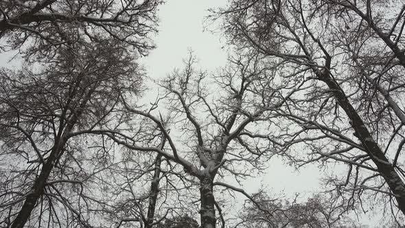 Thumbnail for Winter Forest, Oaks