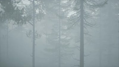 Cloudy Autumn Day in the Pine Forest with Fog