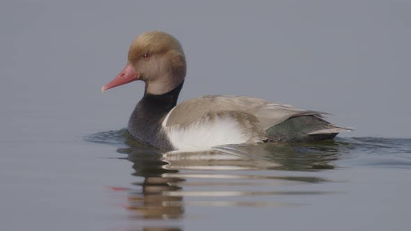 Red-crested Pochard Swimming in a Lake