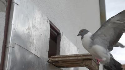 Pigeon Coming Home