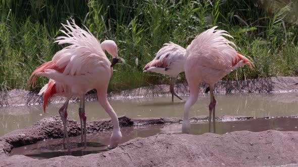 Thumbnail for Group of Flamingos standing in pond