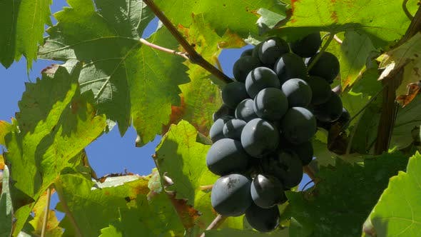 Thumbnail for Fresh dark grape on green wine against blue sky 4K 2160p 30fps UltraHD footage - Juicy fruit grapes