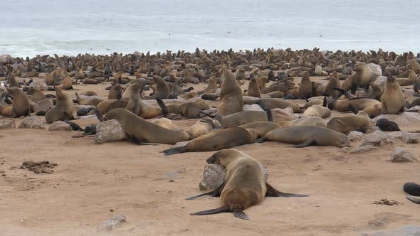 Big sea lion colony near the coast at Cape Cross Seal Reserve in Namibia