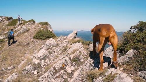 Hiking in Bulgaria Hungarian Vizsla Dog at Mountain Peak in Sunny Day