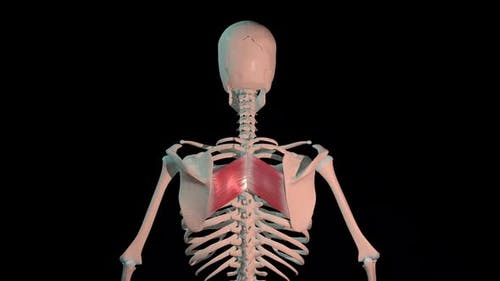 Rhomboid Major Muscles Full Roration Loop