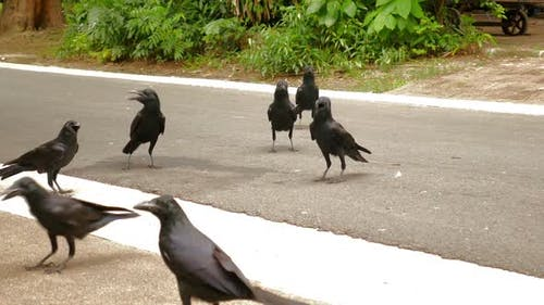 Krähen auf der Straße