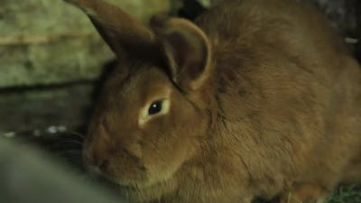 Red Dwarf Rabbit Looking Back